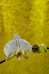 Orchid Bloom 6