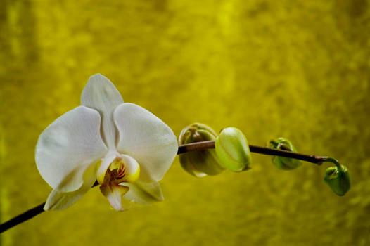 Orchid Bloom 7