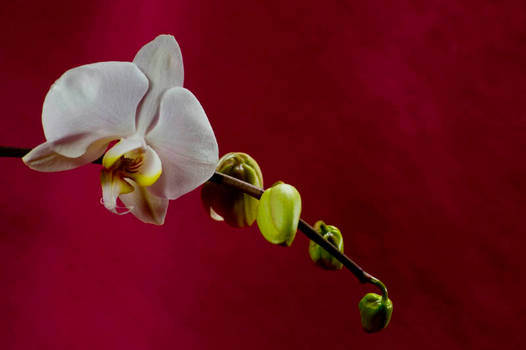 Orchid Bloom 9