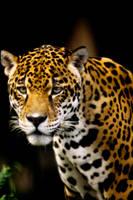 Jaguar by Art-Photo