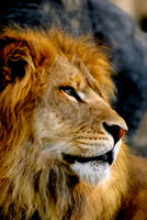 Lion 5 by Art-Photo