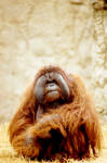 Orangutan 8