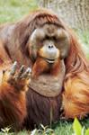 Orangutan 20