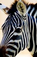 Zebra by Art-Photo