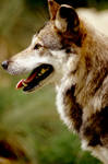 Mexican Wolf 3 by Art-Photo