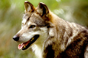 Mexican Wolf 4 by Art-Photo