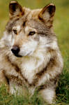 Mexican Wolf 7