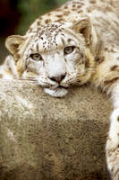 Snow Leopard 13 by Art-Photo