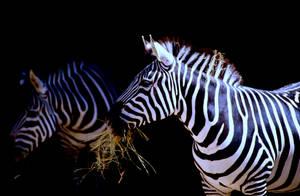 Zebra 8 by Art-Photo