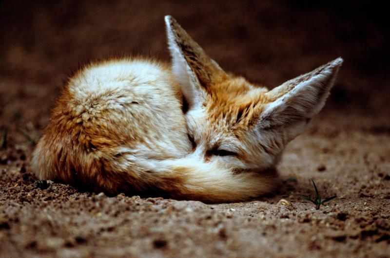 Fennec Fox 2