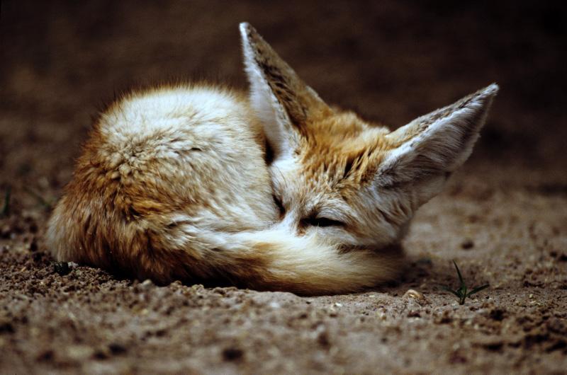 Fennec Fox 2 by Art-Photo