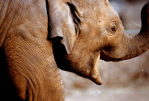 Elephant 2 by Art-Photo