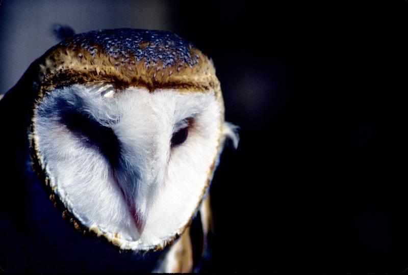 Barn Owl by Art-Photo