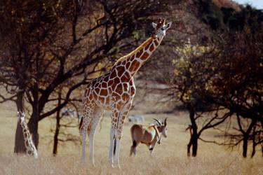 Two Giraffes 2 by Art-Photo