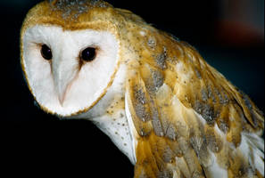 Barn Owl 2 by Art-Photo