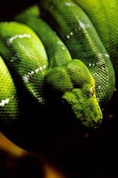 Green Tree Boa Snake 2 by Art-Photo