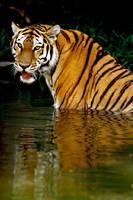 Tiger in Water 4 by Art-Photo