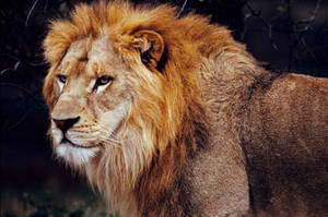 Lion 21 by Art-Photo