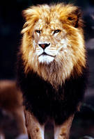 Lion 22 by Art-Photo