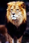 Lion 22