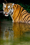 Tiger in Water 5