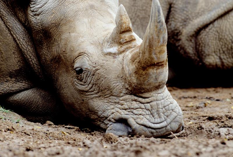 Rhinoceros by Art-Photo