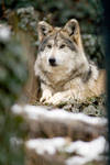 Mexican Wolf 9 by Art-Photo