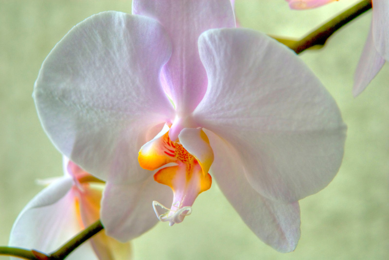 Orchid 40 by Art-Photo