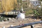 Seagull - Stock