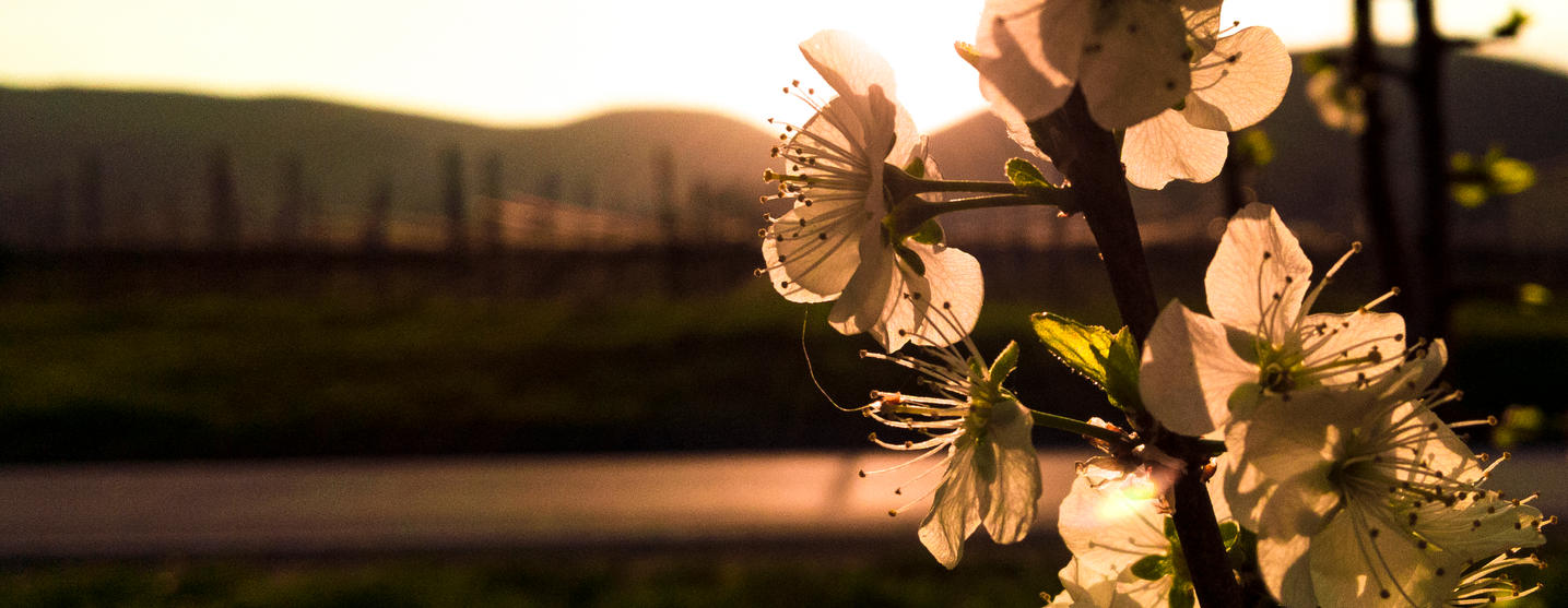 Almond Blossom and Sunset [1/2] by luzudemcas