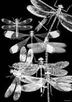 Dragonfly Photogram