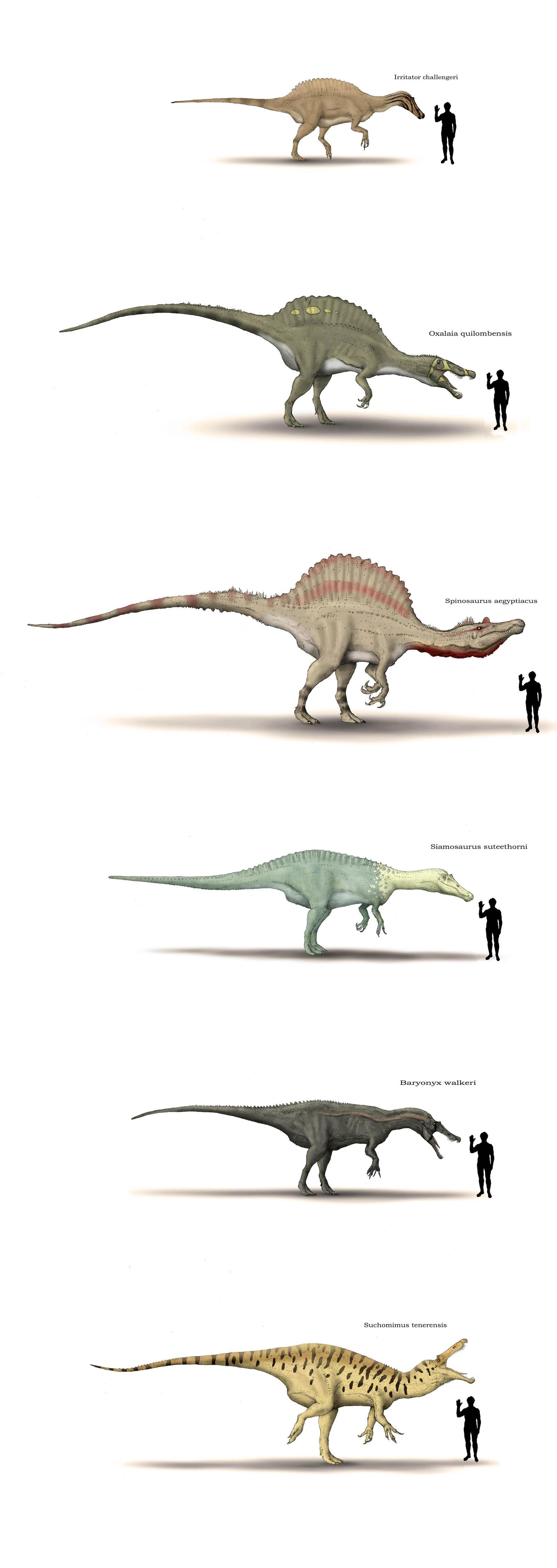 Spinosauridae size shart