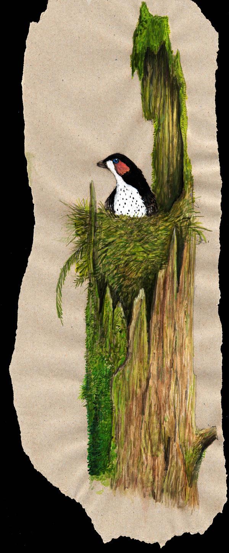 Just a Eosinopteryx nest