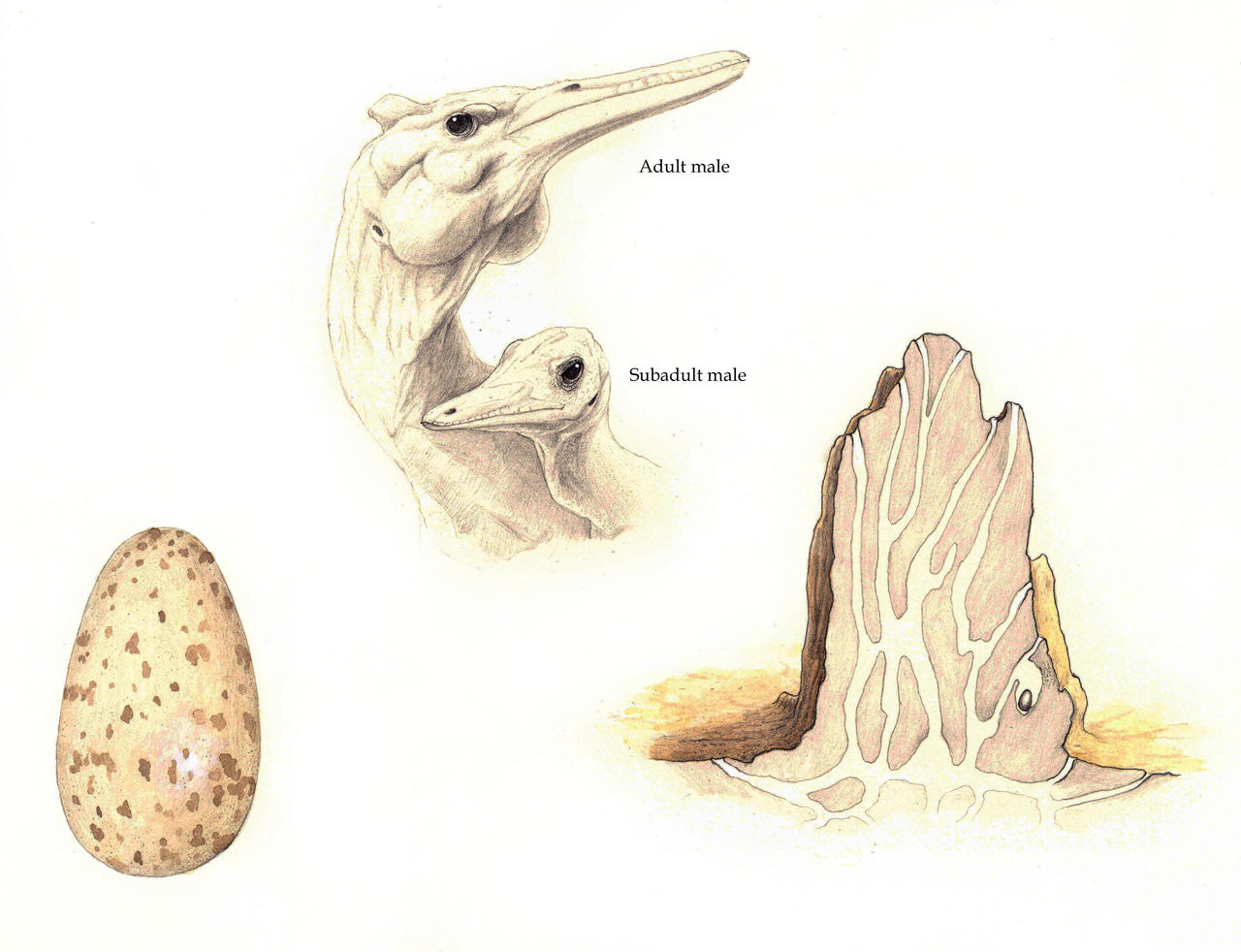 Corytholurus nesting behavior