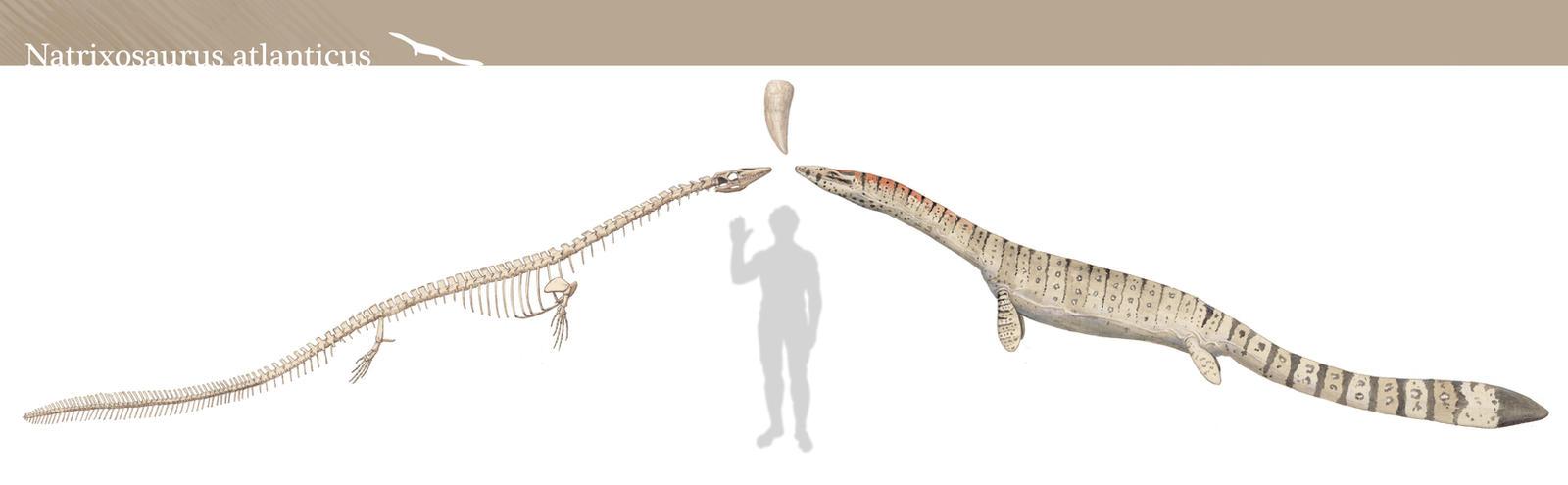 Natrixosaurus atlanticus