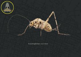 Cave cricket by Hyrotrioskjan