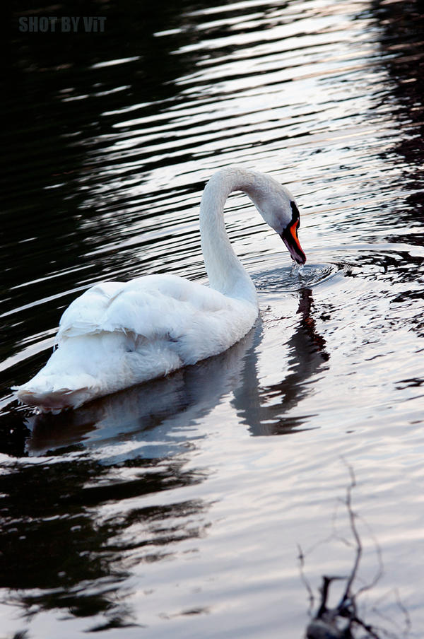 Swan Song by Piddling