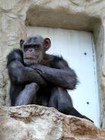 Szympans by k-b-n