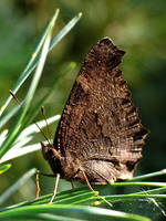 Motyl zlozony by k-b-n