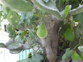 Chayote Fruit