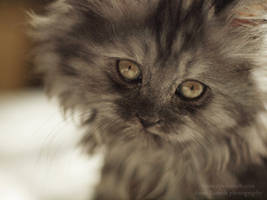 The persian kitty by tipoe