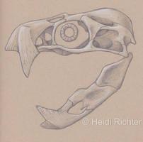 Pteroraptor Skull 1 by Heidi Richter