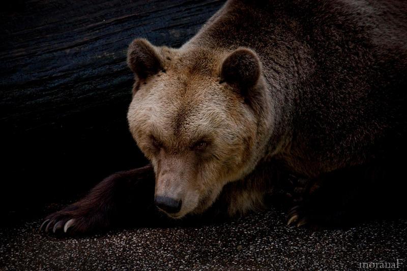 Bear no.2 by moranaF