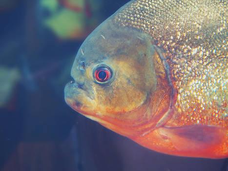 Piranha.