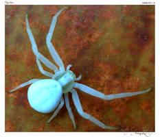 Spider by DianaLobriglio