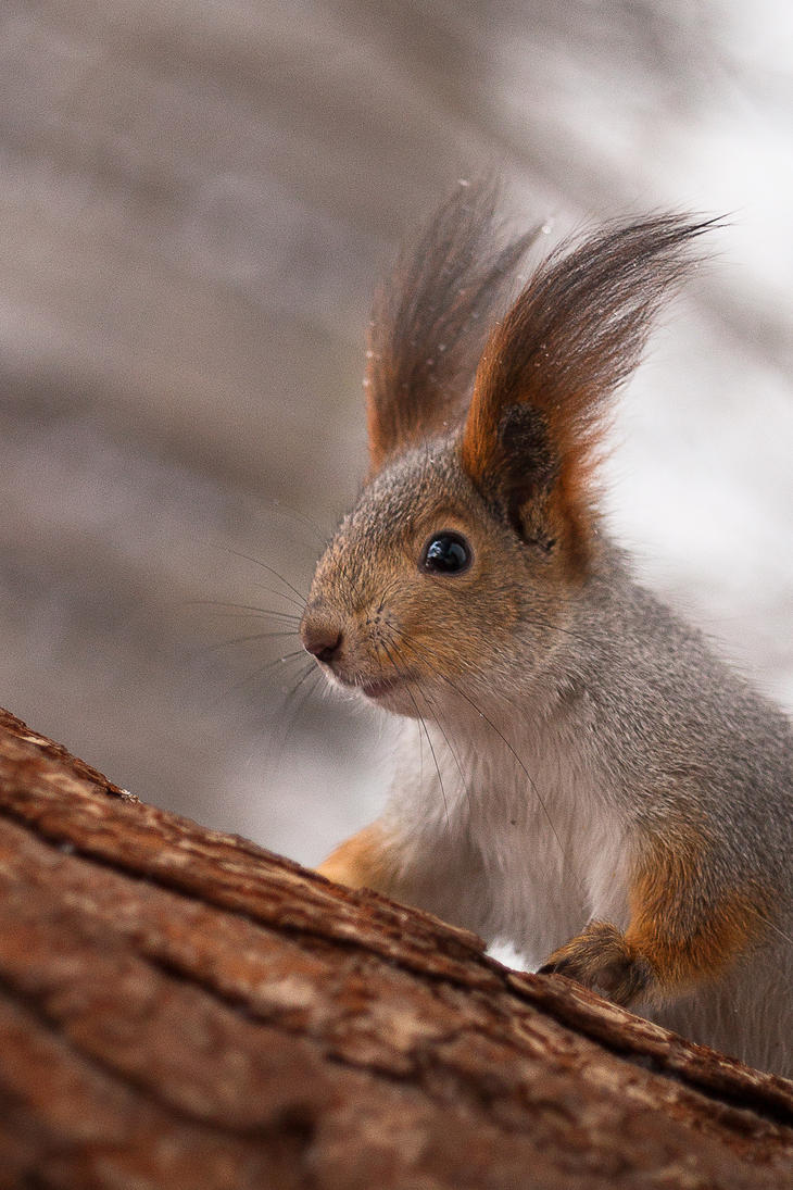 Squirrel on a pine tree by gmarv1n
