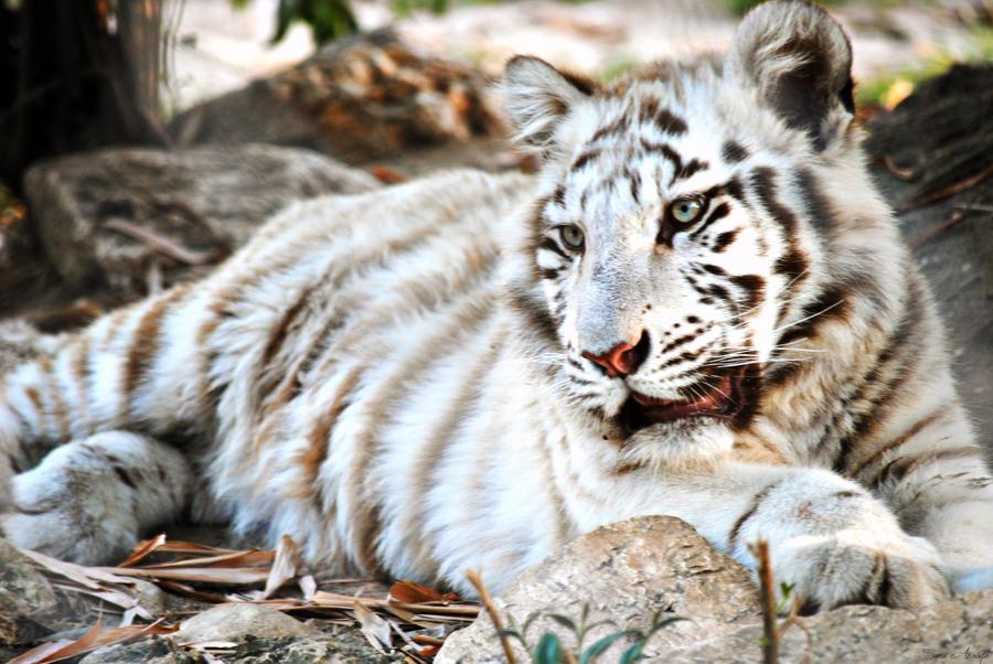 White Tiger by Sara-Araujo