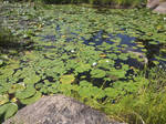 Water Lilies V1