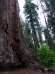 Giant Sequoia Tree 2