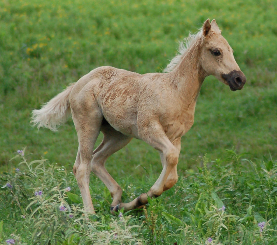 palomino foal - photo #7